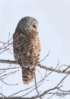 A jail house owl   barred by DGAnder