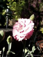 Carnation. by AlfiBOh