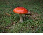 Toadstool01 by alais-stock