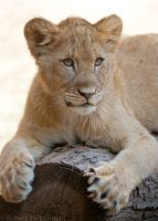 Lion Cub 0070 by robbobert