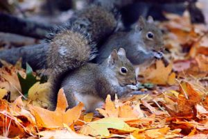 Autumn's Squirrels by FallOut99