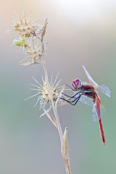 Common red II by buleria