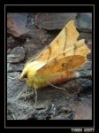 Canary-shouldered Thorn II by Smokey41