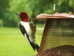 Red-headed Woodpecker by AppleBlossomGirl