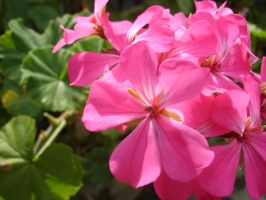 Pink Flowers by chris51888
