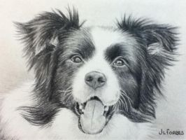 Border Collie by Fazz-jo-xx