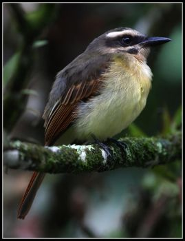 The golden-crowned flycatcher by Tsirona