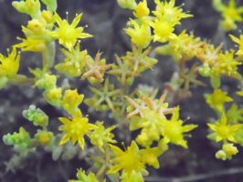 Miniature Yellow Flowers by TheGerm84