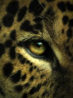 Junior's Jaguar Stare by NaturePunk