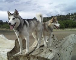 Tucker and Koda on log by Lesh4537