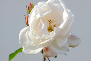 White roses by FlWeyand