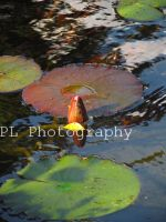 Lily Pad 2 by Purplefantasticzebra