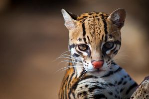 Ocelot by LifeCapturedPhoto