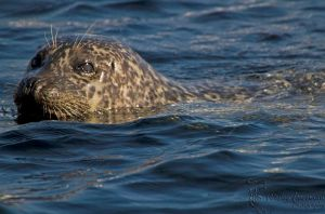 Rare Seal Sighting! by WesHPhotography
