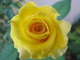yellow rose 19 by CosmicKat
