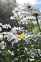 Shasta Daisy by dragon-fly-to-me