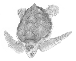 Sea Turtle by Shift-ing