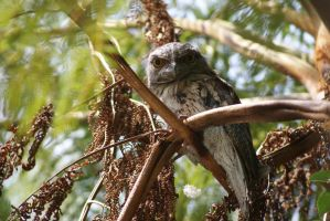 Tawny frogmouth by sootyalbatross
