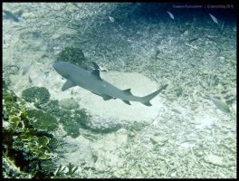 White tipped reef shark by Dominion-Photography