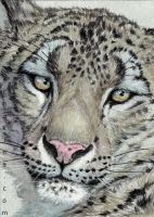 ACEO Snow Leopard... by sschukina