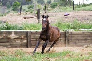 Km Old TB canter front on by Chunga-Stock