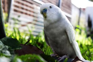 White Budgie by koora-the-tigeress