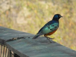 Superb Starling by Aquata92