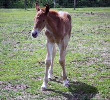 09 Suffolk Punch Filly Stand by chaotezy
