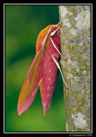 Elephant Hawk Moth by andy-j-s