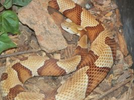 Copperhead Snake by NatureGirl4Ever