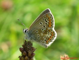 Brown Argus by Terrydunk