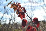 Red fall leaves by petralfire