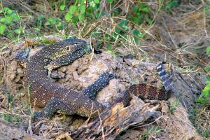 Monitor Lizard by lenslady