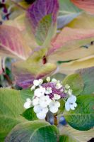 A Hydrangea At The End Of November by aegiandyad