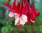 Fuschia by aurora19