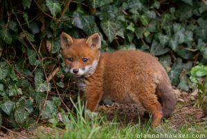 Fox Cub 20 by Alannah-Hawker