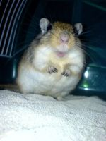 fat gerbil by cottoncandycookie