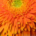 Orange gerbera by FrancescaDelfino