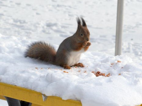 Squirrel on snow on park table by TomiTapio