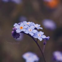 Forget Me Not, My Dear by DorotejaC