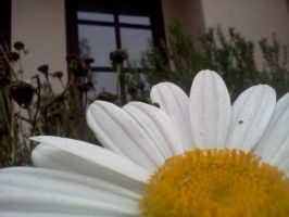 Daisy Window by Sommore