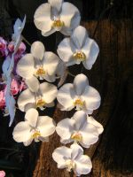 White Orchid 10. by AngelTimi88