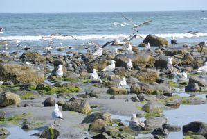 Seagull Land, Rocky Beach by Miss-Tbones