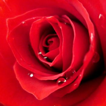 Rose1 by zohreh1991
