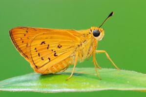 Yellow Palm Dart 210310 by inckurei