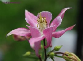 Another Columbine by panda69680102