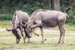 Blue wildebeest in a fight by camerati