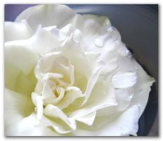 White Rose by Risuchia