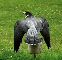 Peregrine Falcon Flapping by Track-Maidens