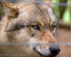 Wolf05 by solina-tormas